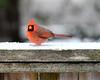 DSC_8793 e5 8x10 sm (J Telljohann) Tags: kingwood texas snow cardinal red
