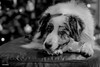 I'll just wait here patiently while you click (Jasper's Human) Tags: aussie australianshepherd dog sheep zippypaws