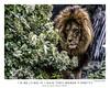 Munich Lion (AaronP65 - Thnx for over 11 million views) Tags: lion munichzoo munich bavaria germany