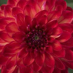 Nuances de rouge **---+°---° (Titole) Tags: dahlia red squareformat titole nicolefaton flower 15challengeswinner challengegamewinner thechallengefactory