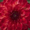 Nuances de rouge *----+° (Titole) Tags: dahlia red squareformat titole nicolefaton flower 15challengeswinner