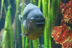 Fishy Friday... (law_keven) Tags: redbelliedpiranha piranha fish birthday bristol bristolzoogardens england