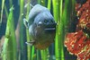 Fishy Friday... (law_keven) Tags: redbelliedpiranha piranha fish birthday bristol bristolzoogardens england
