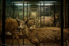 deer to me (TheOtherPerspective78) Tags: nhm nhmw vienna wien museum biology conservation taxidermy mammals animals cervidae deer showcase display exhibit diorama nature science naturalhistory canon theotherperspective78 eosm6 historic