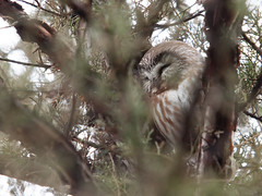 Northern Saw-Whet Owl (dmills727) Tags: bird owl ccfpd champaigncounty homer