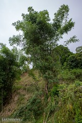 Mega-Bamboo at the Road (3276) (Stefan Beckhusen) Tags: bamboo big tall nature plant tree road street serpentine green tropic flores indonesia asia landscape countryside travel forest vegetation flora outdoors jungle rainforest wood ecosystem noperson environment standing bush grass