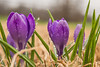 Signs of Spring (Back Road Photography (Kevin W. Jerrell)) Tags: crocus flowers closeups nikond7200 frontyardphotography waterdrops droplets rain signsofspring purple colorful