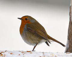 Robin (sho5572) Tags: nikond5 outdoor avian northamptonshire countryside wild nature red snow winter bird robin