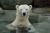 Polar Bear WildlandsZoo (K.Verhulst) Tags: polarbears polarbear polar beren bears ijsberen ijsbeer wildlandsadventurezoo wildlands emmen bear