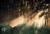 Quiet path (warmianaturalnie) Tags: forest nature tree woodland sunlight sunbeam outdoors landscape morning fog lightnaturalphenomenon autumn sun season mist leaf beautyinnature sunset mystery greencolor warmia warmianaturalnie