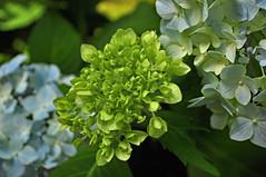 Hydrangeas (BKHagar *Kim*) Tags: bkhagar flower flowers hydrangea hydrangeas floral outdoor nature