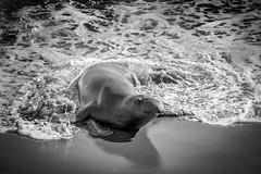 Elephant seal is enjoying life (dannygreyton) Tags: elephantseal seal usa westcoast california blackandwhite ocean highway1 animal water wildlife fujifilmxt2 fujifilm beach