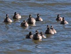 Join us... (Goggla) Tags: nyc new york manhattan battery park urban wildlife bird brant goose geese batterypark