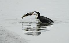 The big breakfast (Maureen Pierre) Tags: seabird bird native newzealand piedshag cormorant fish catch