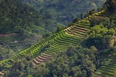 Rýže se začíná barvit (zcesty) Tags: vietnam22 terasa rýže pole krajina hory vietnam dosvěta hàgiang vn