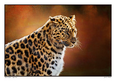 African Leopard ~ When Night Ends (Johnrw1491) Tags: wildlife big cats leopard predator portrait essay animals nature
