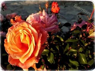 Sunset roses