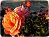 Sunset roses (@ tameristan) Tags: sunset rose roses pinkrose sunsetpics shadow shadows autumn autumncolors leafs tameristan samsungphotography mobilphotography colour colours garden flowers flower mobilfotoğrafçılık samsunfotoğrafçılığı
