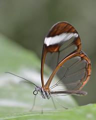 glasswing on a leaf (GE fotography) Tags: 9279 glasswomg greta morgane oto 56cm wisley glasshouse tropical butterfly