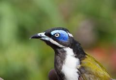 Blue in the face (Michael Jefferies) Tags: australia queensland toowoomba honeyeater entomyzoncyanotis geo:country=australia taxonomy:binomial=entomyzoncyanotis bluefacedhoneyeater