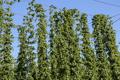 Hopfenplantage (blumenbiene) Tags: hopfen hopfenplantage hopfenfeld hopfenanbau anbau plantage feld humulus hop hops field growing plantation plants plant pflanzen pflanze flowers blüten blütenstände bier beer magnum perle