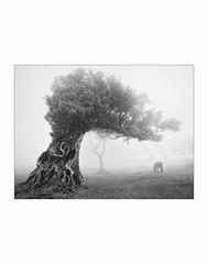 Silent stinkwood tree. (Frans van Hoogstraten) Tags: madeira mist island portugal ocoteafoetens stinkwoodtree cow stinklaurier tree mysterious silence til tilo