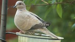 Collared Dove (colper) Tags: 100400 canon7dmk2 collareddove garden