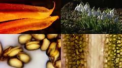 Galanthus nivalis: A microscopy study (Nick:Wood) Tags: nature wildflower environment pollen petal galanthusnivalis snowdrop stamen baddesleyclinton warwickshire microscopy macro