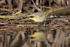 Verisimilitude (gseloff) Tags: commonyellowthroat male bird reflection water wildlife nature animal reeds bayou horsepenbayou pasadena texas kayak gseloff