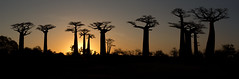 baobab sunset (matt_in_a_field) Tags: eos 5d mk3 canon dslr sunset dusk alley baobab madagascar travel tree flora panoramic silhouette