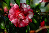 January Camellia Exhibition at the Flora Cologne from 18 January to 14 April 2018 (scorpion (13)) Tags: camellias flower flowers nature color creative photoart flora cologne january camellia exhibition from 18 14 april 2018