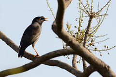 Jungle Myna Acridotheres fuscus Goa India b2 (JohnMannPhoto) Tags: jungle myna acridotheres fuscus goa india