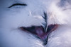 Yawn / Laugh - up to you! :) (dusk_rider) Tags: owl white nikon d7200 nikkor 55300mm raptor bird prey snowy feather face portrait yawn mouth beak dusk rider