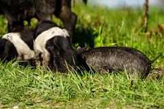 DSC07556.jpg (joe.spandrusyszyn) Tags: suidae circlebbarreserve hog vertebrate mammal sus polkcounty feralpig wildboar eventoedungulate susscrofa unitedstatesofamerica byjoespandrusyszyn pig florida animal lakeland nature artiodactyla