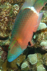ready to strike (BarryFackler) Tags: ocean aquatic fish vertebrate kona pacific 2018 ecology hawaiicounty bigisland coralreef life wrasse poou oxycheilinusunifasciatus ringtailwrasse ounifasciatus island marine bay sealife water undersea diver animal konadiving polynesia marinebiology tropical reef being hawaiiisland westhawaii scuba coral outdoor ecosystem biology hawaiidiving seacreature zoology marinelife barryfackler diving pacificocean organism marineecosystem bigislanddiving creature sealifecamera hawaii barronfackler underwater marineecology honaunau sandwichislands honaunaubay hawaiianislands saltwater reeffish seawater