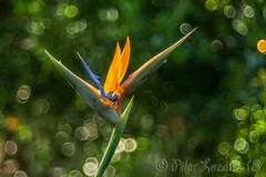 Ave del paraiso, (Strelitzia reginae) (Pilar Lozano ♥) Tags: ave del paraiso flor bokeh color