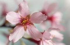 Cherry Blossom (ertolima) Tags: okame macro flower blossom cherry pink petals bloom