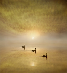 Swans on the River (adrians_art) Tags: mutesawns birds waterfowl water rivers sunrise dawn silhouettes reflections tide shadows sky clouds patterns yellow red orange gold amber light dark black white weather foggy misty natural nature wildlife wings feathers