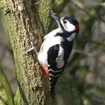Great Spotted Woodpecker P1560490 thumbnail