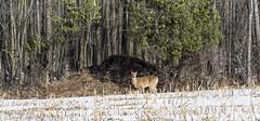 White Tail Deer (Roger Daigle) Tags: white tail deer nikon