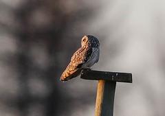 Short Eared Owl Asio flammeus 205-1 (cwoodend..........Thanks) Tags: gloucestershire hawling shortearedowl shortie owl raptor wildlife asioflammeus seo hunting quartering