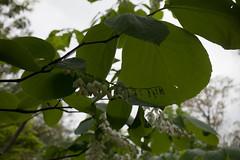 jdy116XX20170426a9060Bias0 stops.jpg (rachelgreenbelt) Tags: ghigreenbelthomesinc usa styraxobassia greenbelt northamerica midatlanticregion ouryard eudicots orderericales styrax familystyracaceae maryland americas asteridsclade magnoliophyta styracaceae styracaceaefamily asterids benzoin ericales ericalesorder floweringplants fromjapan snowbell spermatophytes storax