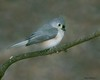 Tmouse2 (lfalterbauer) Tags: titmouse canon 7dmarkii naturephotographer wildlifephotographer bokeh songbird avian ornithology peacevalleypark lakegalena perch outdoor yahoo flickr