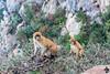 Macaques de Barbarie dans le Parc National de Gouraya (Ath Salem) Tags: algérie algeria argelia nature tourism tourisme northafrica afriquedunord afrique africa nikond5200 yemmagouraya parcnationaldegouraya gourayanationalpark الحديقةالوطنيةقورايا béjaïa bejaïa الحظيرةالوطنيةقورايا بجاية singe ape monkey singemagot magot barbarymacaque macacasylvanus mono macaquedebarbarie قرد