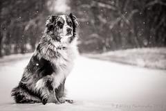 Boomer in B&W (Browtine1) Tags: dog australian shepherd canine mans best friend portrait pet snow bw mono blue merle aussie herding