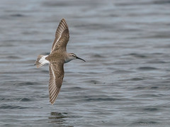 Curlew Sandpiper Calidris ferruginea Scolopacidae (Mykel46) Tags: sandpiper bif birds nature wildlife flight flying outside outdoors outdoor sony a9 100400mm 14x curlew