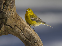Pine Warbler, male (AllHarts) Tags: malepinewarbler backyardarea memhistn passionforbirds naturesspirit thesunshinegroup naturescarousel ngc awesomebirds
