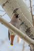 Bohemian Waxwing (Bombycilla garrulus) (byjcb) Tags: waxwing birds reno nevada unitedstates us