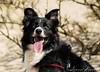 Sterre 14 (lizzaminelli) Tags: bordercollie animal dog dogs pet kijkduin nikon nikond3200 beach sea