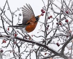 fresh frozen (marianna_a.) Tags: p1780239 fresh frozen red berries robin bird wing up reaching winter freezingrain ice mariannaarmata